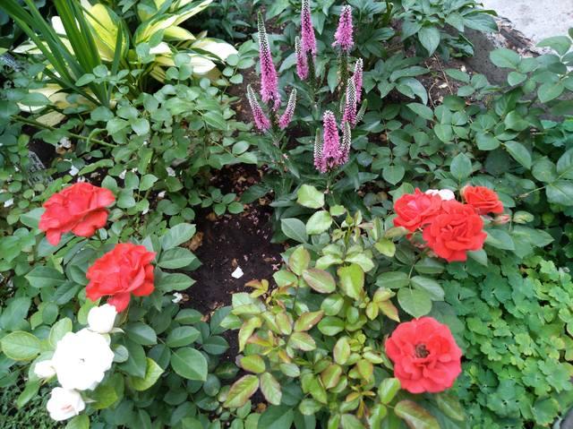 Розы цветут - Страница 17 22551308_m