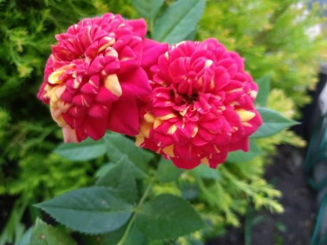 Розы цветут - Страница 17 22551310_m