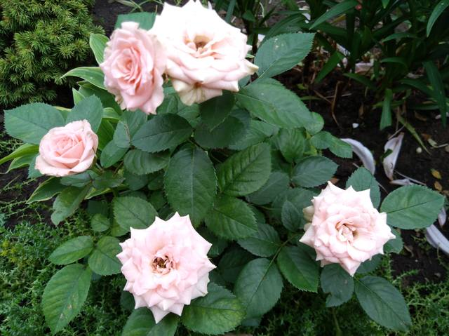 Розы цветут - Страница 17 22551311_m