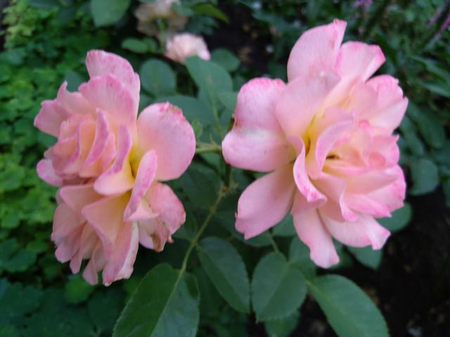 Розы цветут - Страница 17 22551312_m