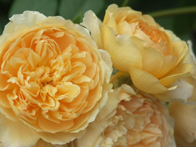 Розы цветут - Страница 17 22552978_m