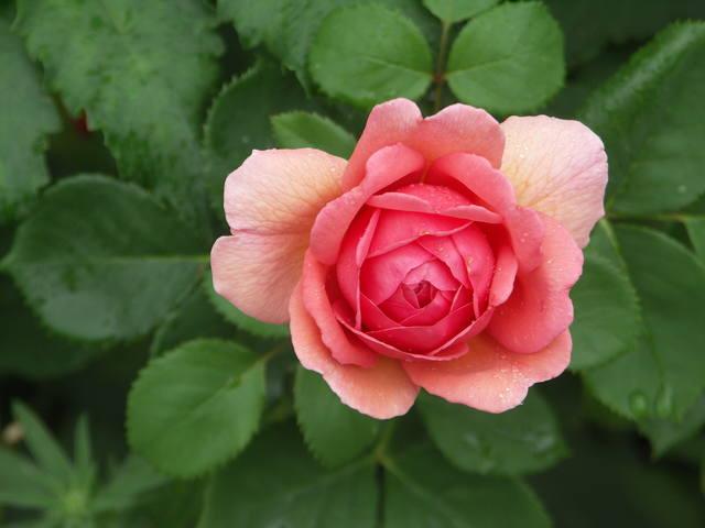 Розы цветут - Страница 17 22552977_m