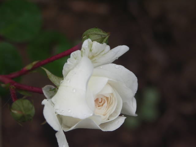 Розы цветут - Страница 17 22552979_m