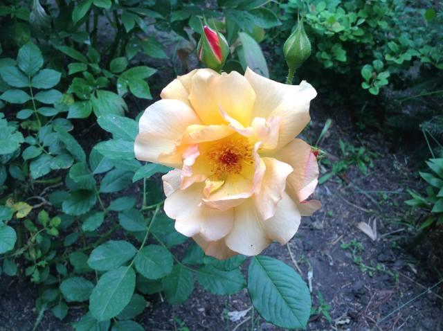 Розы цветут - Страница 17 22559452_m