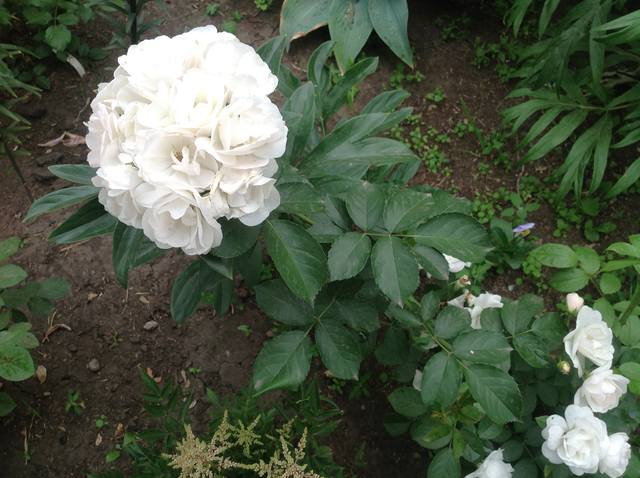 Розы цветут - Страница 17 22559453_m