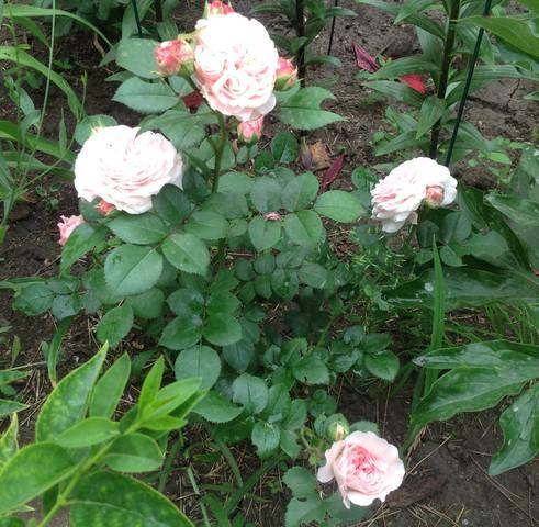 Розы цветут - Страница 17 22559454_m