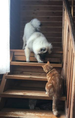 Мои Кеесхонды  Каспер, Френсис, Бор и кот Ярик. - Страница 9 22616305_m
