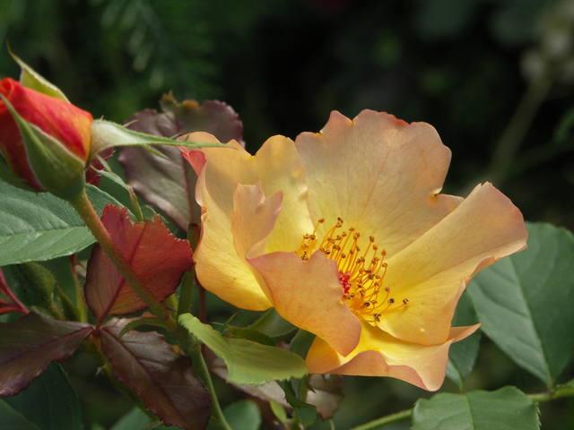 Канадские розы 22710915_m