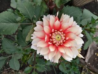 Георгины в цвету - Страница 36 22784136_m