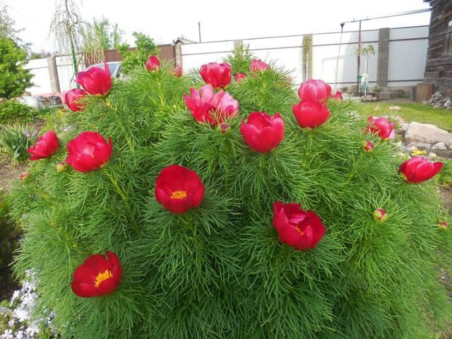 Продам растения 22944904_m