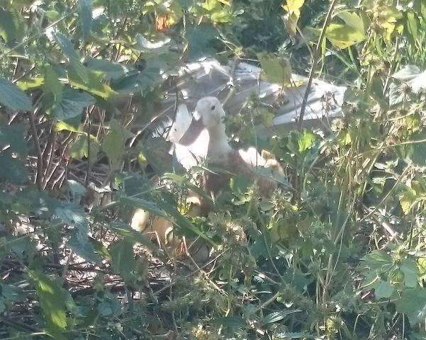 Индийские Бегуны - яичная порода уток - Страница 12 23102111_m