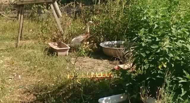 Индийские Бегуны - яичная порода уток - Страница 12 23106775_m