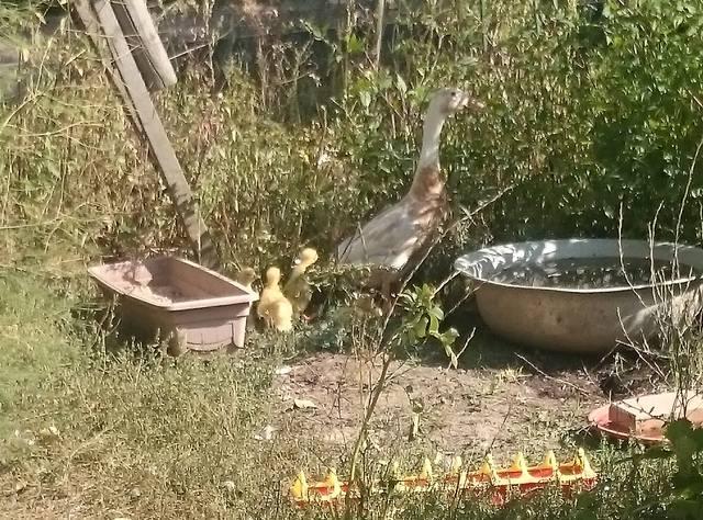 индийский - Индийские Бегуны - яичная порода уток - Страница 12 23106776_m