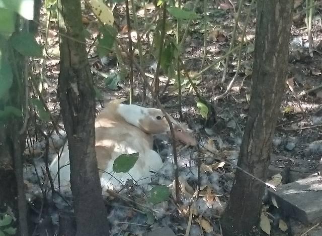 Индийские Бегуны - яичная порода уток - Страница 12 23106777_m