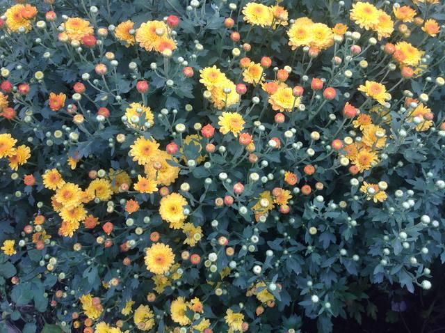 Хризантемы - Страница 20 23168352_m