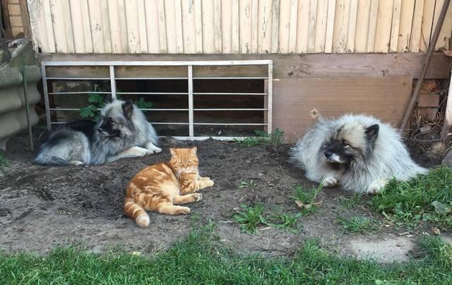 Мои Кеесхонды  Каспер, Френсис, Бор и кот Ярик. - Страница 10 23375035_m
