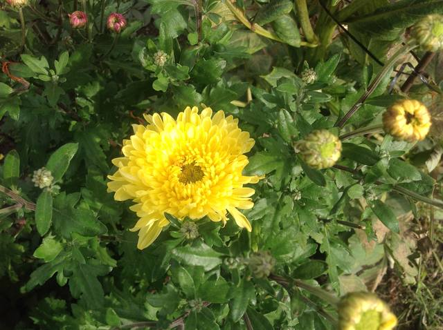 Хризантемы - Страница 20 23629806_m