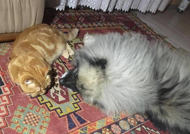 Мои Кеесхонды  Каспер, Френсис, Бор и кот Ярик. - Страница 11 23695497_m