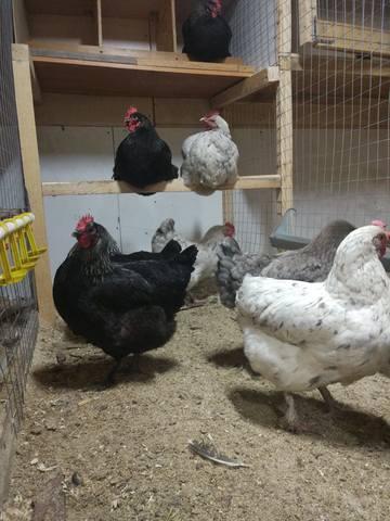 Мараны - порода кур, несущие пасхальные яйца - Страница 17 24108169_m