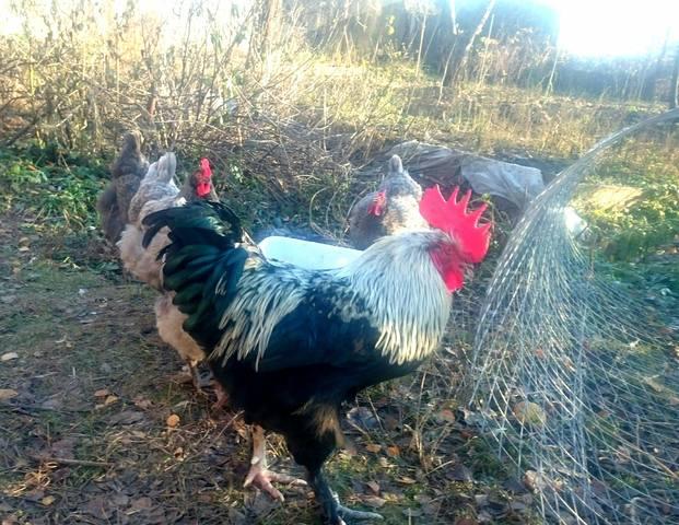 Мараны - порода кур, несущие пасхальные яйца - Страница 17 24152189_m