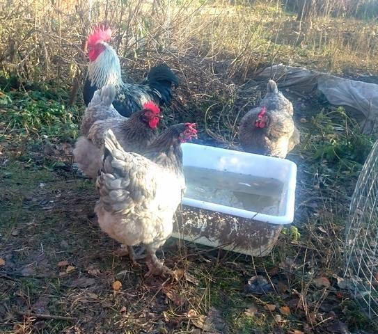 Мараны - порода кур, несущие пасхальные яйца - Страница 17 24152190_m