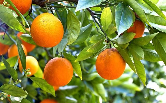 Апельсины растущие на ветках