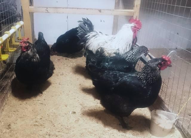 Мараны - порода кур, несущие пасхальные яйца - Страница 18 24364382_m