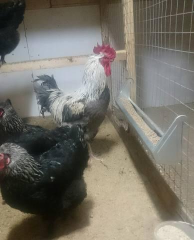Мараны - порода кур, несущие пасхальные яйца - Страница 18 24415578_m