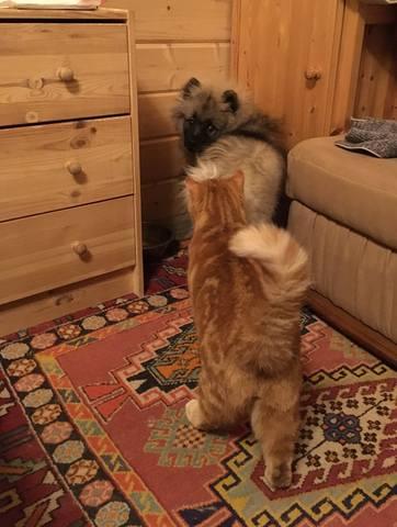 Мои Кеесхонды  Каспер, Френсис, Бор и кот Ярик. - Страница 12 24523783_m