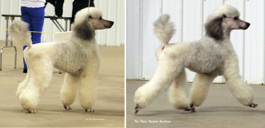 Sable stand2 Rivers Edge Standard Poodles