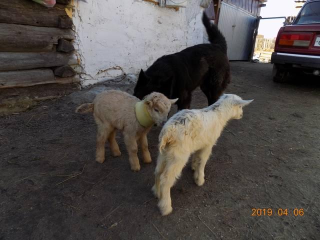 Содержание коз - Страница 3 26076747_m