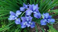 Ирисы в наших садах - Страница 42 27243150_s