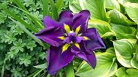 Ирисы в наших садах - Страница 42 27243412_s