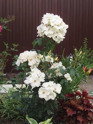 Розы цветут - Страница 21 27431322_m