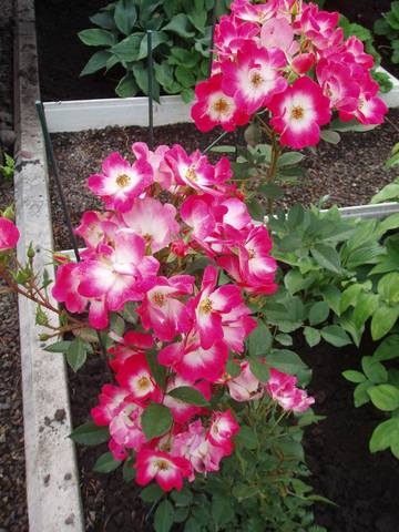 Розы цветут - Страница 21 27431321_m