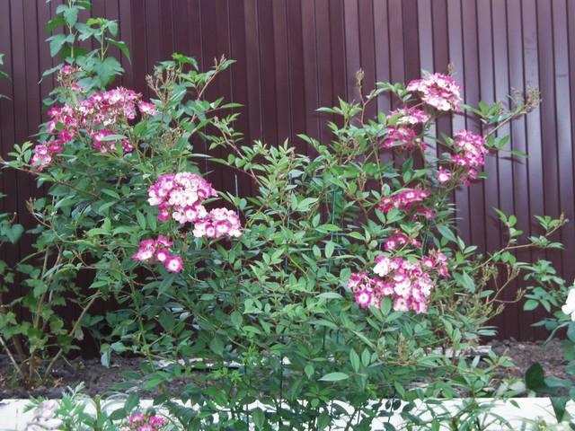 Розы цветут - Страница 21 27431323_m