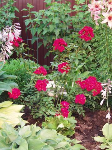 Розы цветут - Страница 21 27431355_m