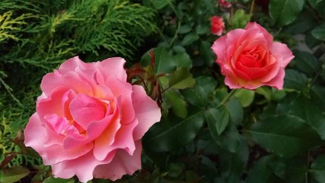 Розы ТОПАЛОВИЧ ВЕСНА 2020 - Страница 7 27510342_m