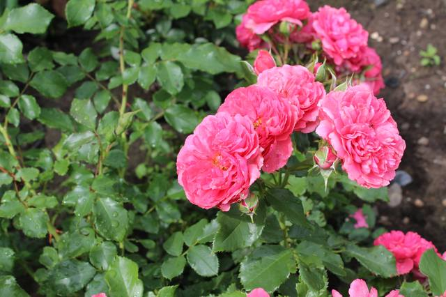 Розы цветут - Страница 21 27525542_m
