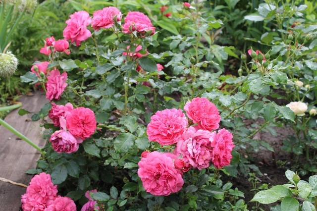 Розы цветут - Страница 21 27525543_m