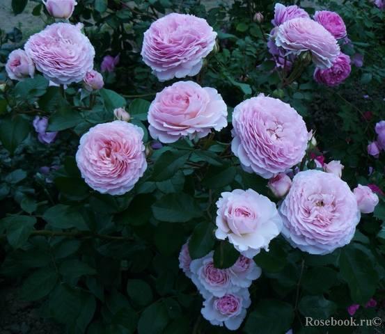 Розы Остина на весну 2010 года - Страница 2 27535782_m