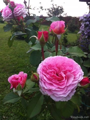 Розы Остина на весну 2010 года - Страница 2 27535781_m