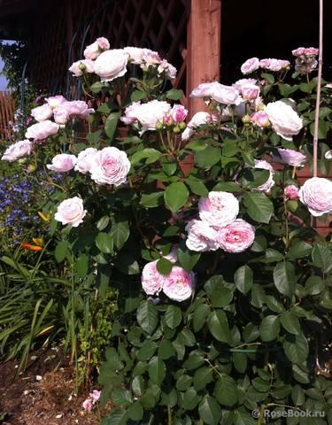Розы Остина на весну 2010 года - Страница 2 27535779_m