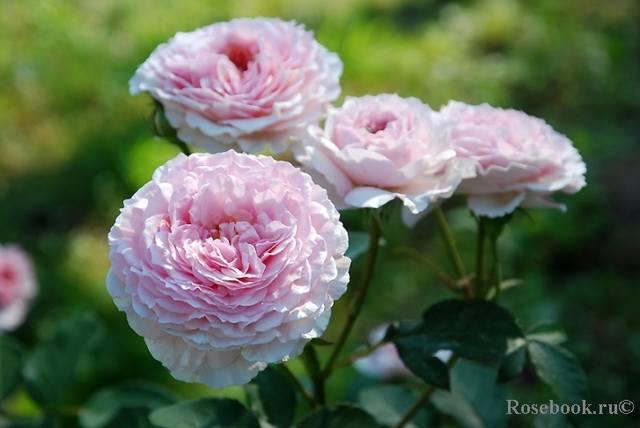 Розы Остина на весну 2010 года - Страница 2 27535780_m