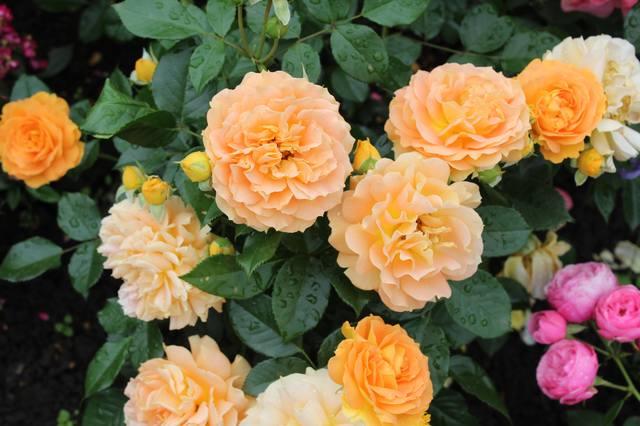 Розы цветут - Страница 21 27584256_m
