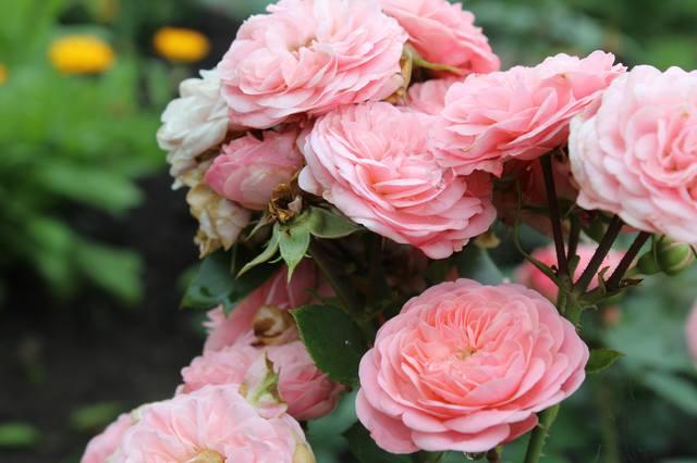 Розы цветут - Страница 21 27584262_m