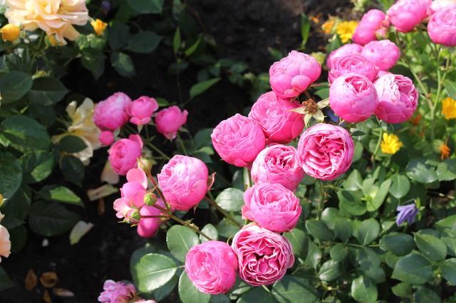 Розы цветут - Страница 21 27584261_m