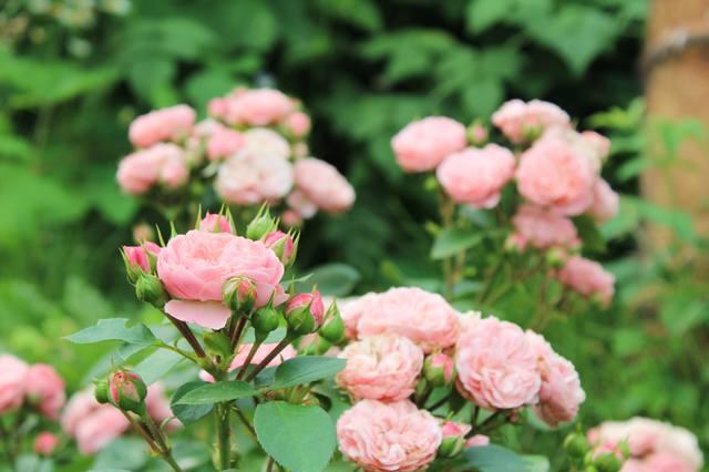 Розы цветут - Страница 21 27584264_m