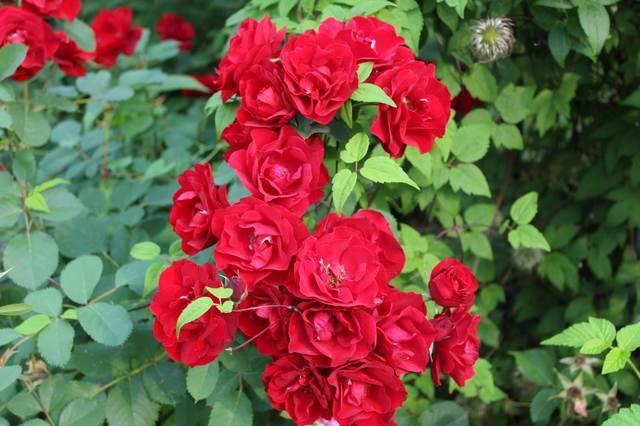 Розы цветут - Страница 21 27584265_m