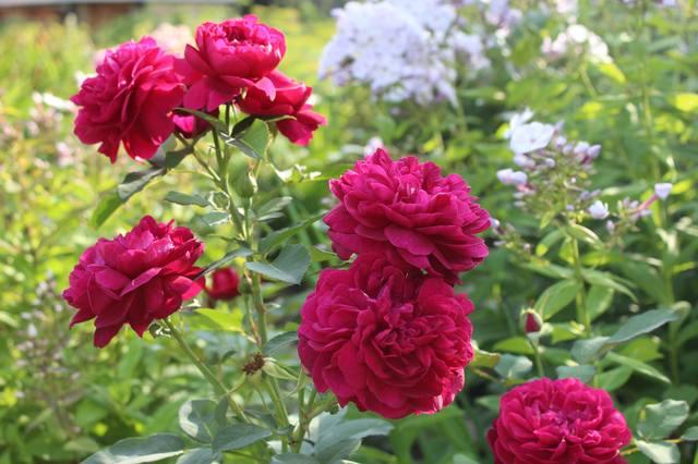 Розы цветут - Страница 21 27584319_m